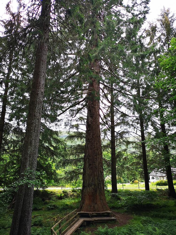 Mammutbaum Wellingtonie